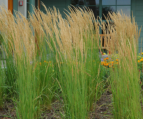 CALAMAGRATIS X ACUTIFLORA KARL FORESTER FEATHER REED GRASS