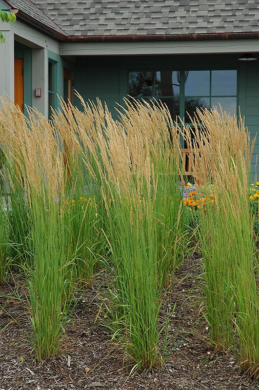 CALAMAGRATIS X ACUTIFLORA KARL FORESTER FEATHER REED GRASS