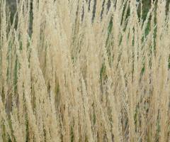 CALAMAGRATIS X ACUTIFLORA KARL FORESTER FEATHER REED GRASS 2