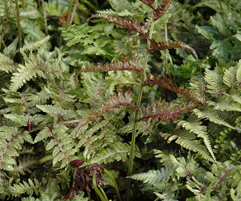 ATHYRIUM NIPPONICA JAPANESE PAINTED FERN