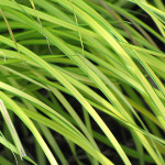 carex-grass-2n