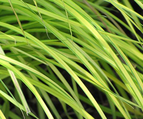 carex-grass-2n