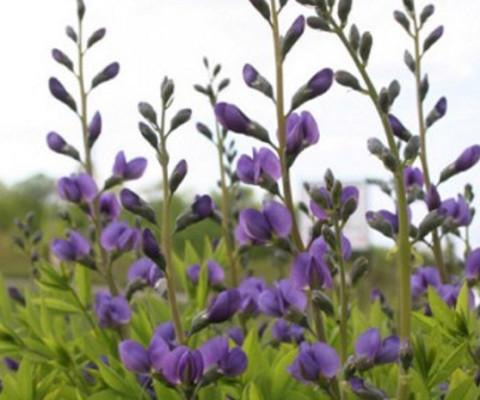 wild-flower-Blue-false-indigo