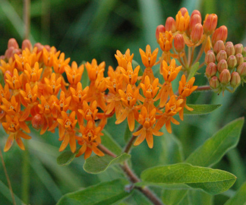 Butterfly_Weed_Entire_Flower_Head