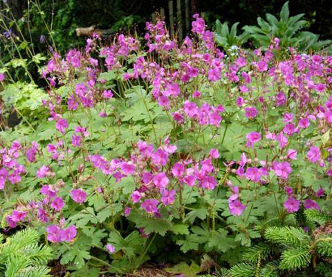 Cranesbill-geranium-beavans-variety