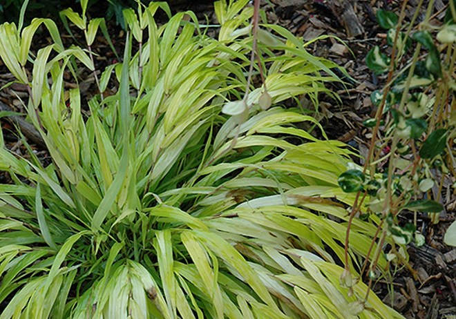 HAKONECHLOA MACRA ` ALL GOLD ` GOLDEN JAPANESe FOREST GRASS