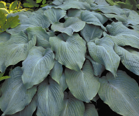 Hosta-Blue-Angel