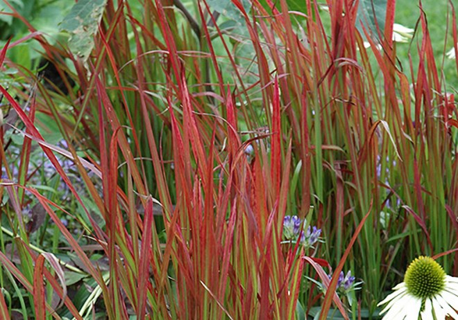Imperata cylindrica red baron rubra japanese blood grass for Japanese ornamental grass
