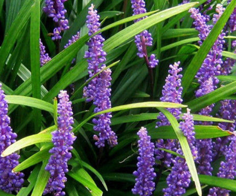 Liriope-big-blue-big-blue-lily-turf