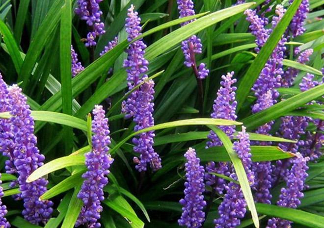 Liriope Big Blue Lily Turf Planters Barn