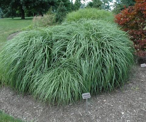 MISCANTHUS SINENSIS ADAGIO MAIDEN GRASS