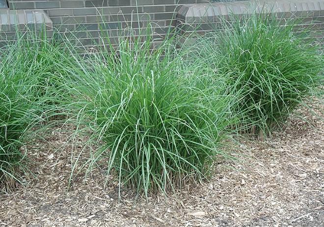 MISCANTHUS SINENSIS GRACILIMUS MAIDEN GRASS