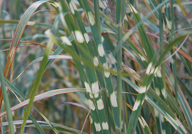 MISCANTHUS SINESIS ZEBRINUS ZEBRA GRASS