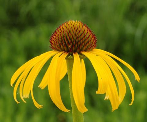 Ozark-conflower
