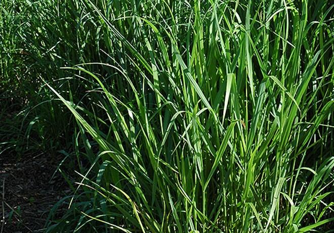 PANICUM VIRGATUM SWITCH GRASS