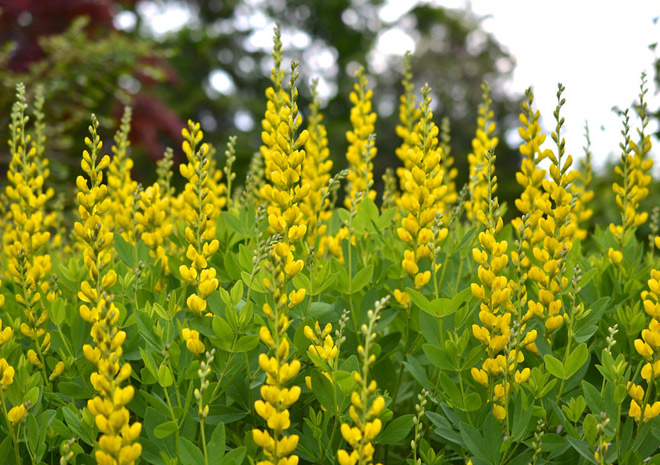 Yellow Wild Indigo Planters Barn