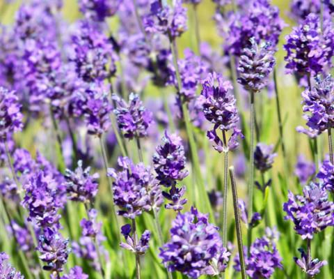 lavandula-angusifolia-hidcote-blue--lavender