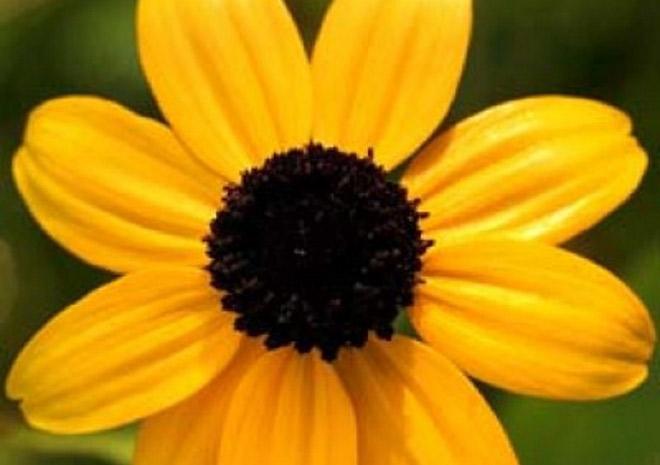 wild-flower-Branched-coneflower