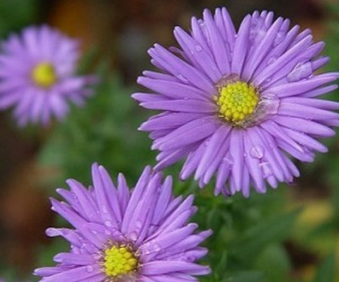 wild-flower-New-York-Aster