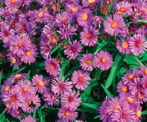 wild flower New england aster