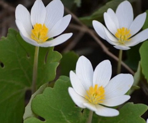 wild-flower-Sanguinaria-canadensis-(Bloodroot)