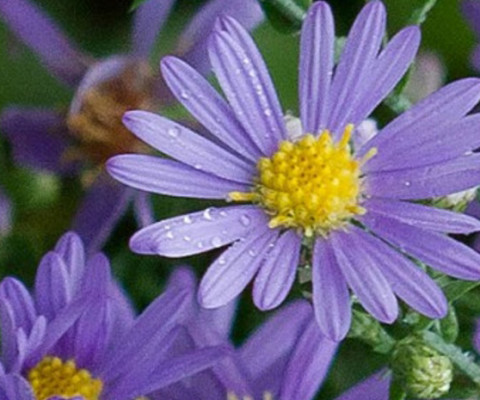 wild-flower-Smooth-aster