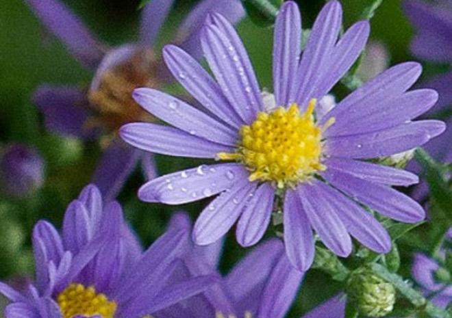 wild-flower-Smooth-aster